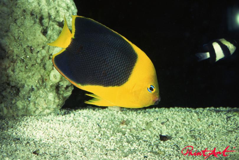 gelb schwarz Meerestiere