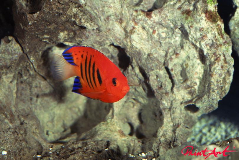 rot blau Meerestiere