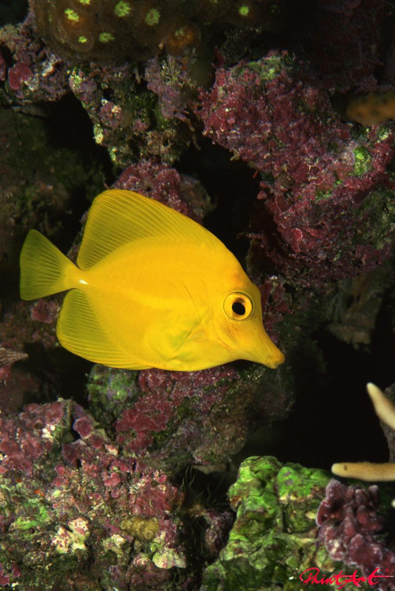 Doktorfisch gelb Meerestiere