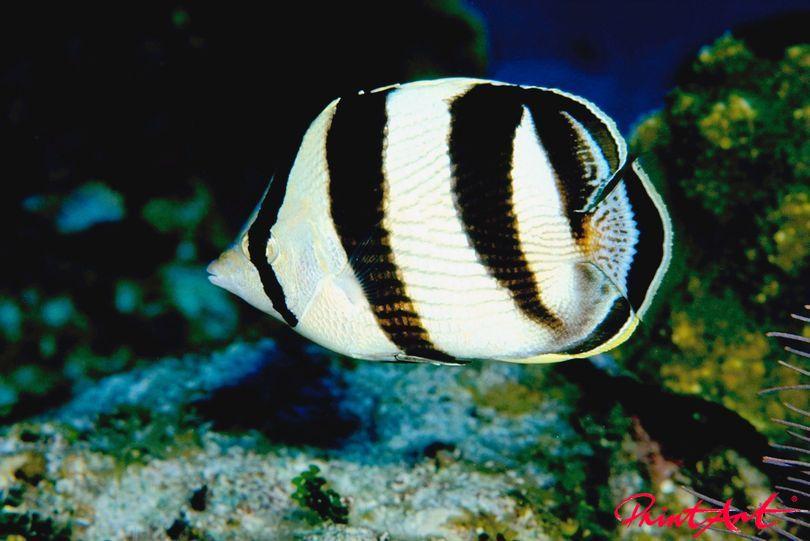 Zebra Meerestiere