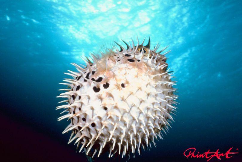 Kugelfisch Meerestiere