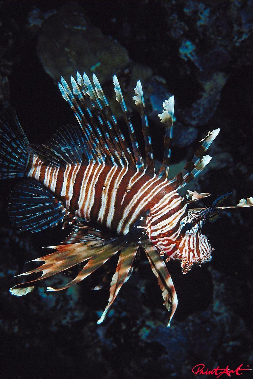Feuerfisch Meerestiere