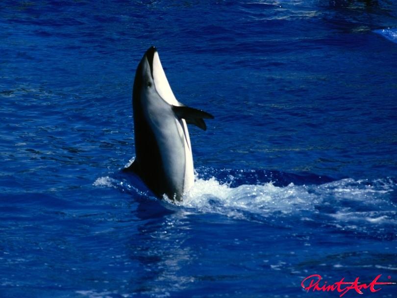 Orca tanzend Meerestiere