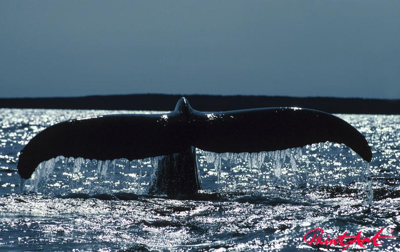 Walflosse II Meerestiere