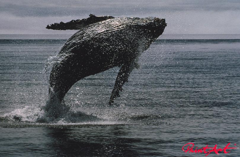Buckelwal Sprung Meerestiere