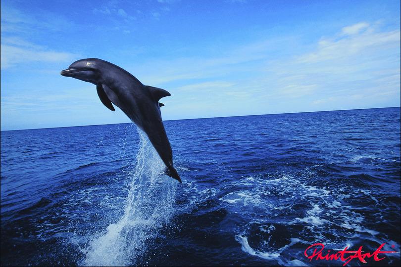 Delphin einzeln im Sprung Meerestiere