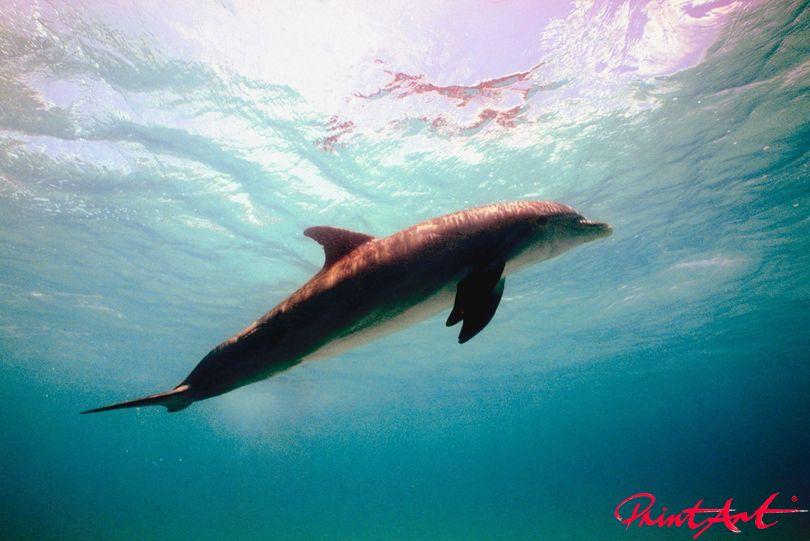 Delphin  Unterwasser Meerestiere