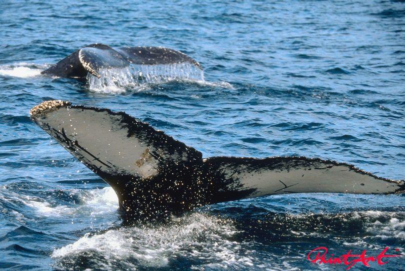 Walflosse Meerestiere