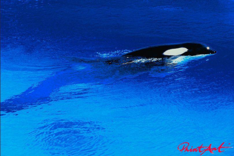 Orca Meerestiere