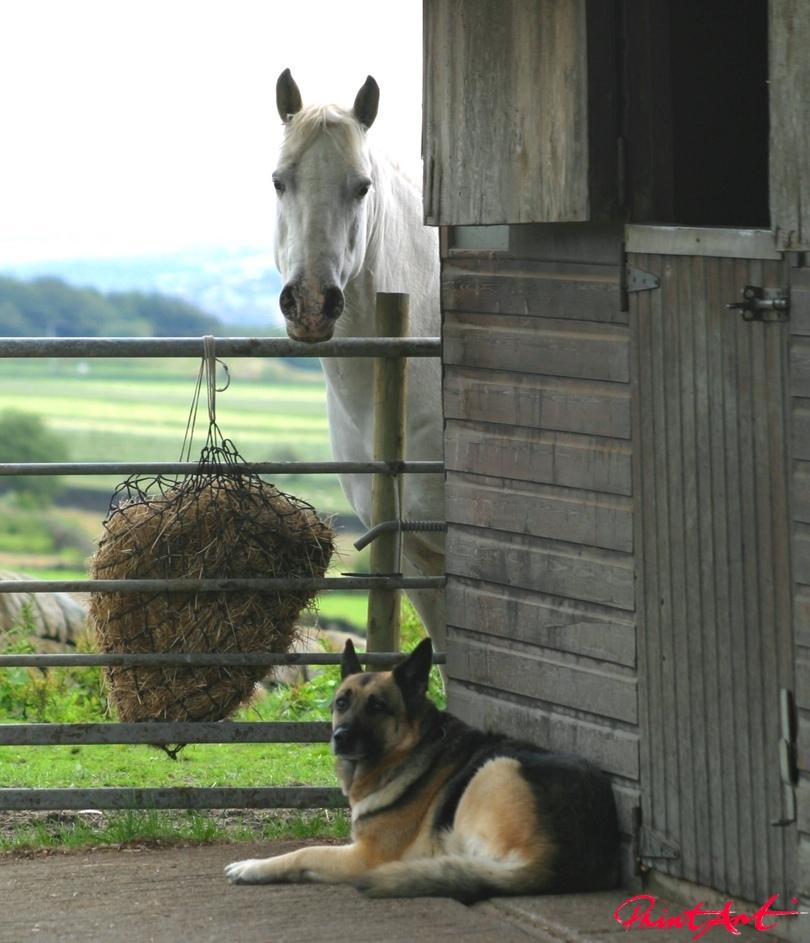 Schaeferhund mit Pferd Hunde