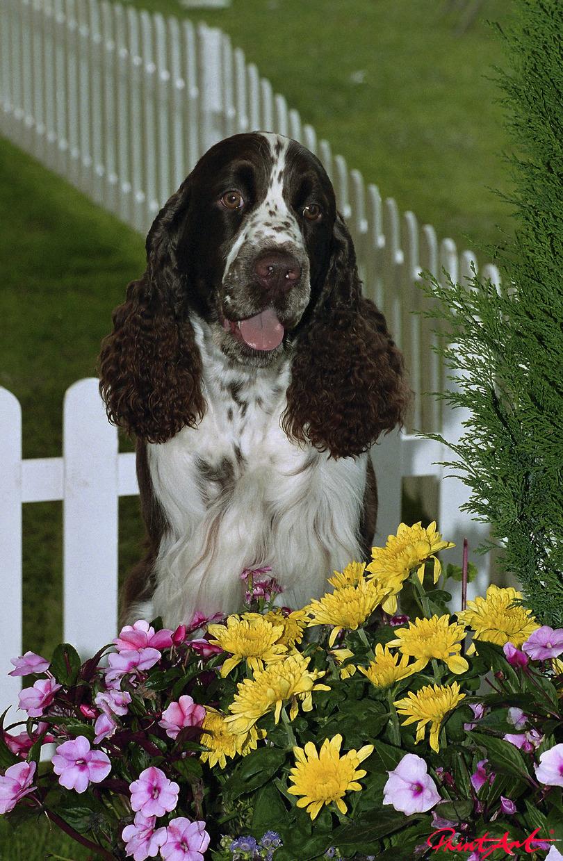 Cockerspaniel im Garten Hunde