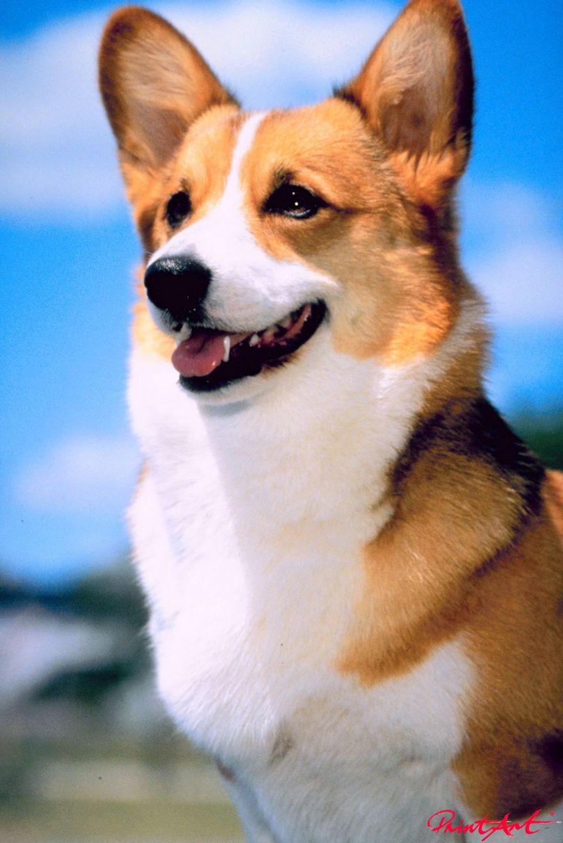 Hund braunweiss Portrait Hunde