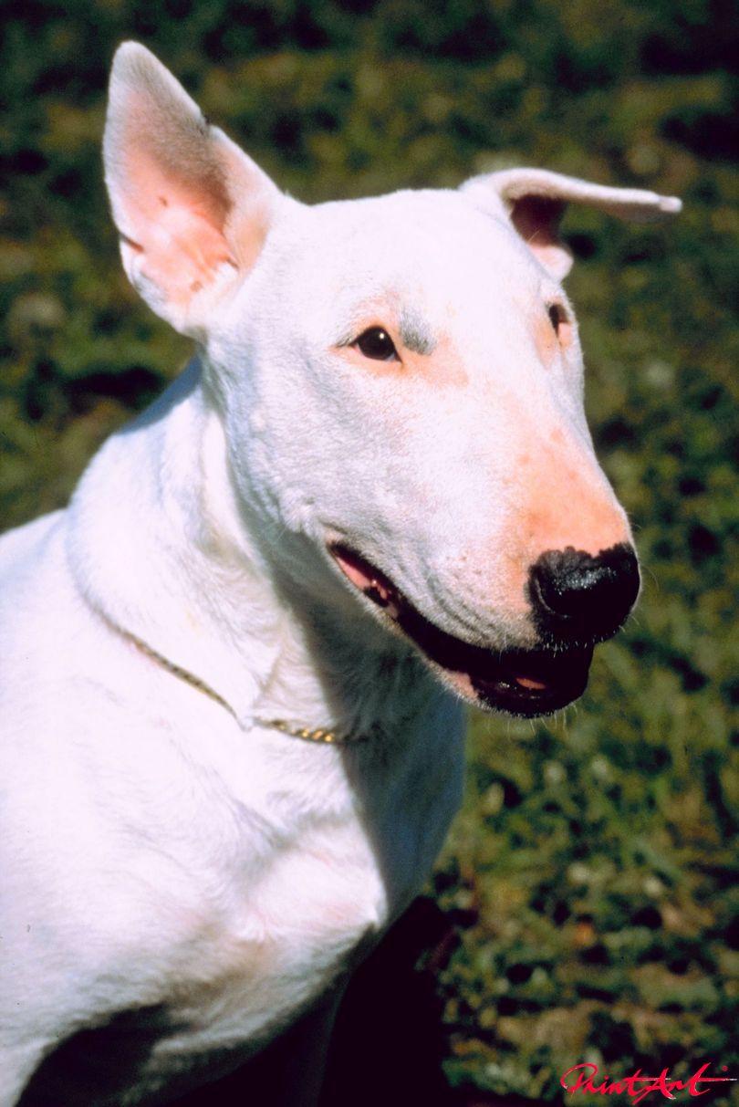 Pitbull Terrier Hunde