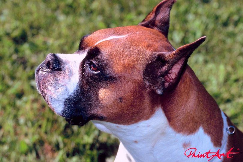 Boxerportrait Hunde