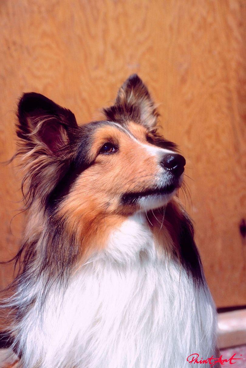 Collieportrait Hunde
