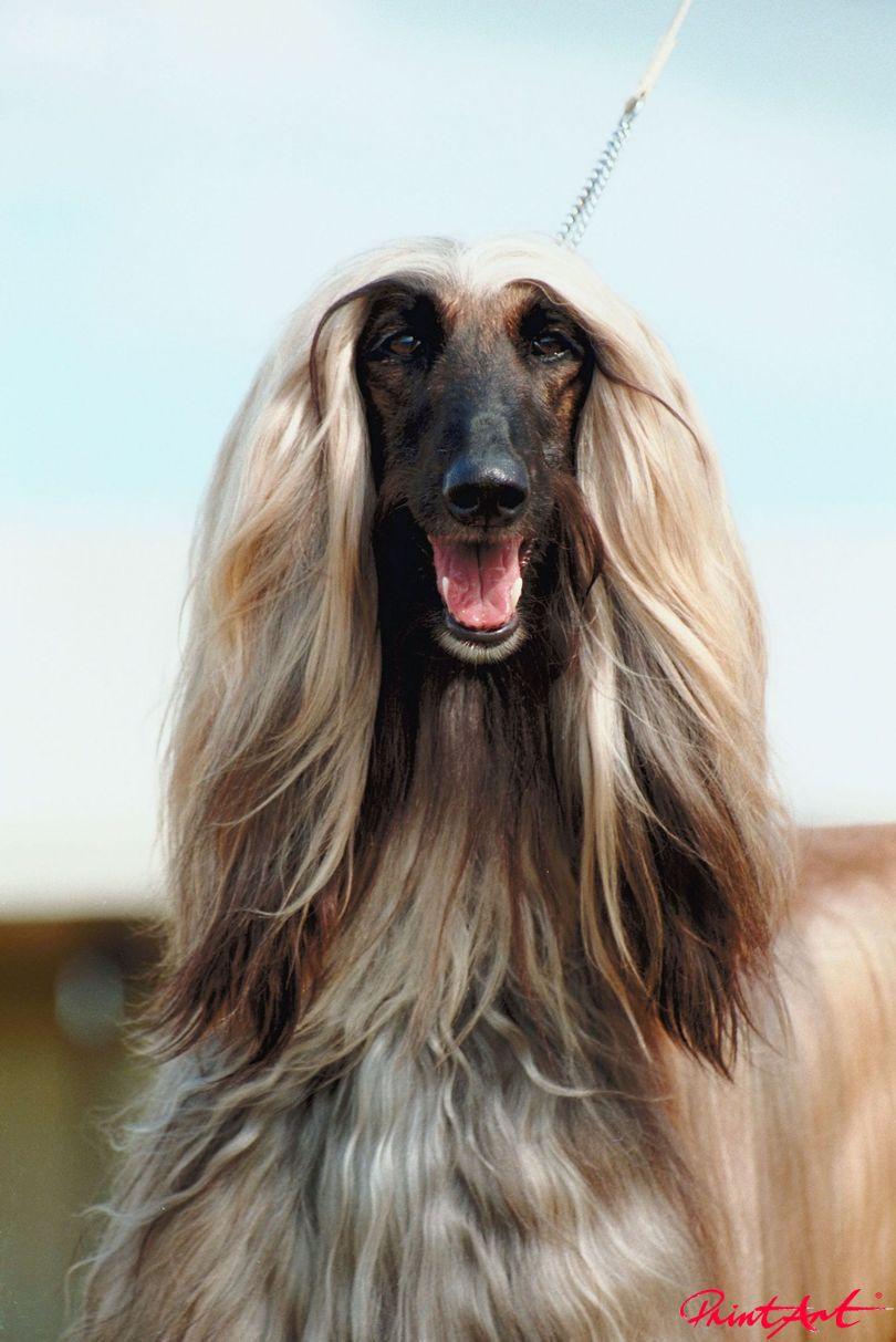 Afghane Hunde