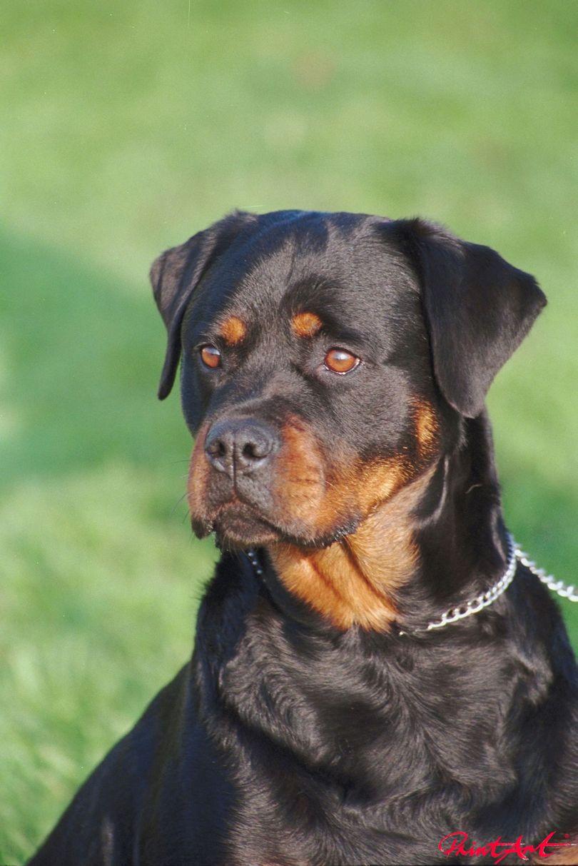 Labrador Portrait Hunde