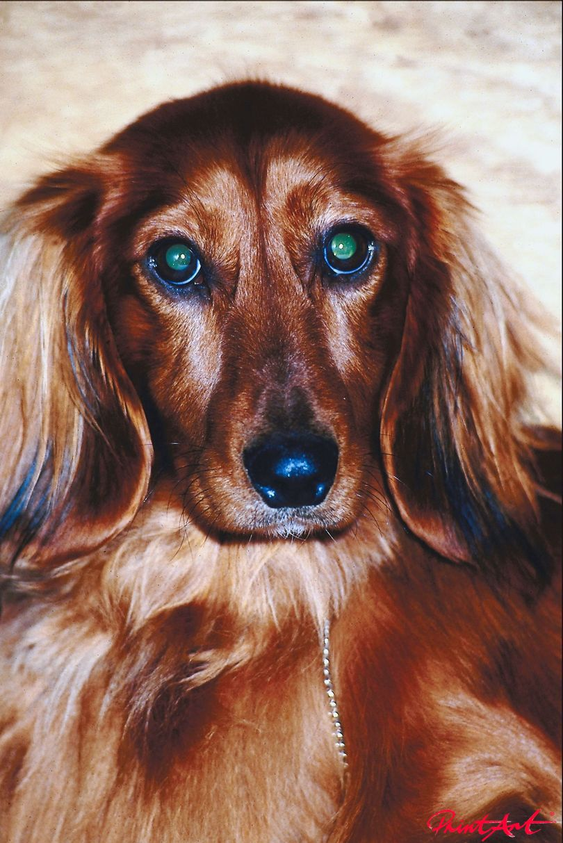 Langhaardackel Portrait Hunde
