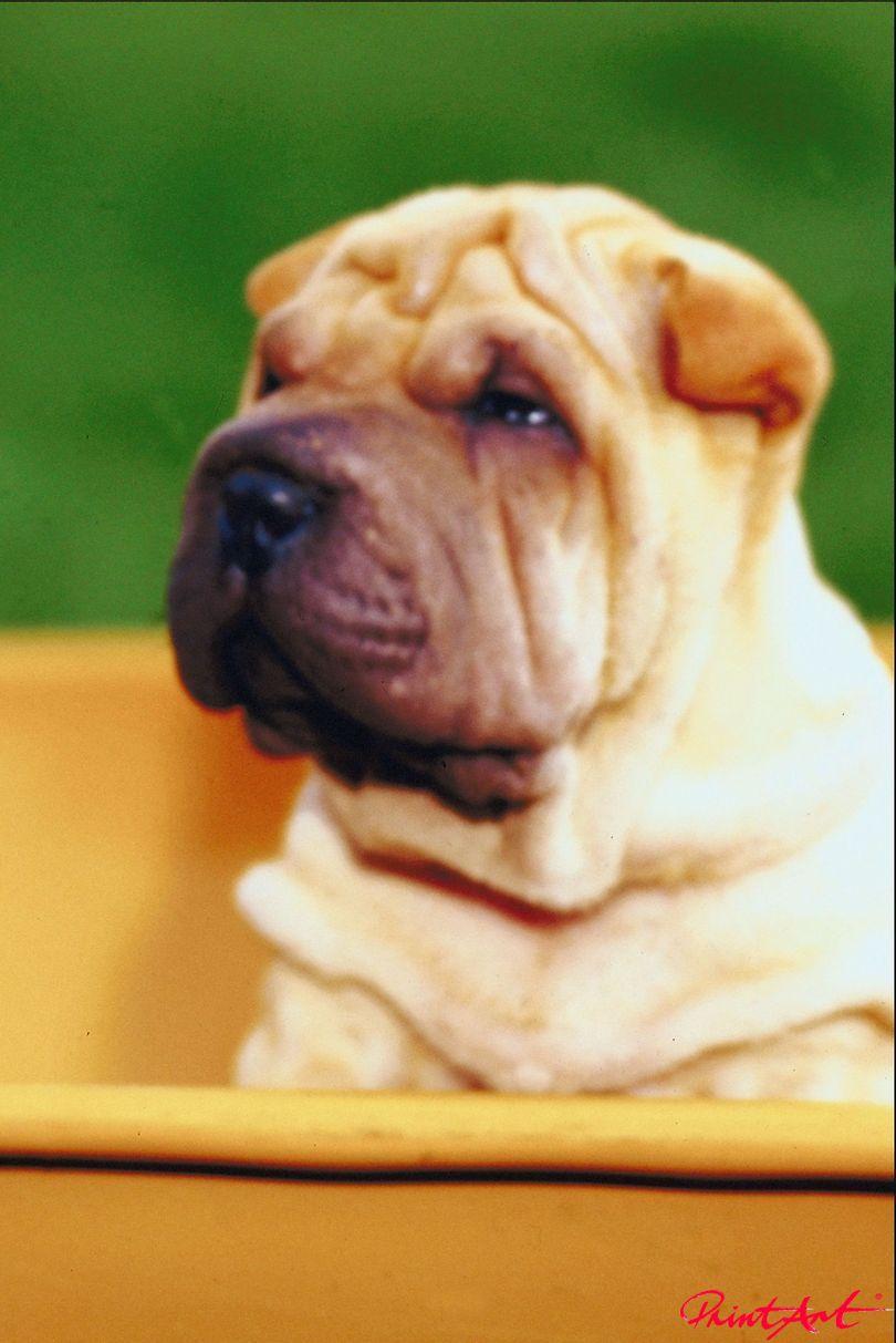 Faltenhund Portrait Hunde