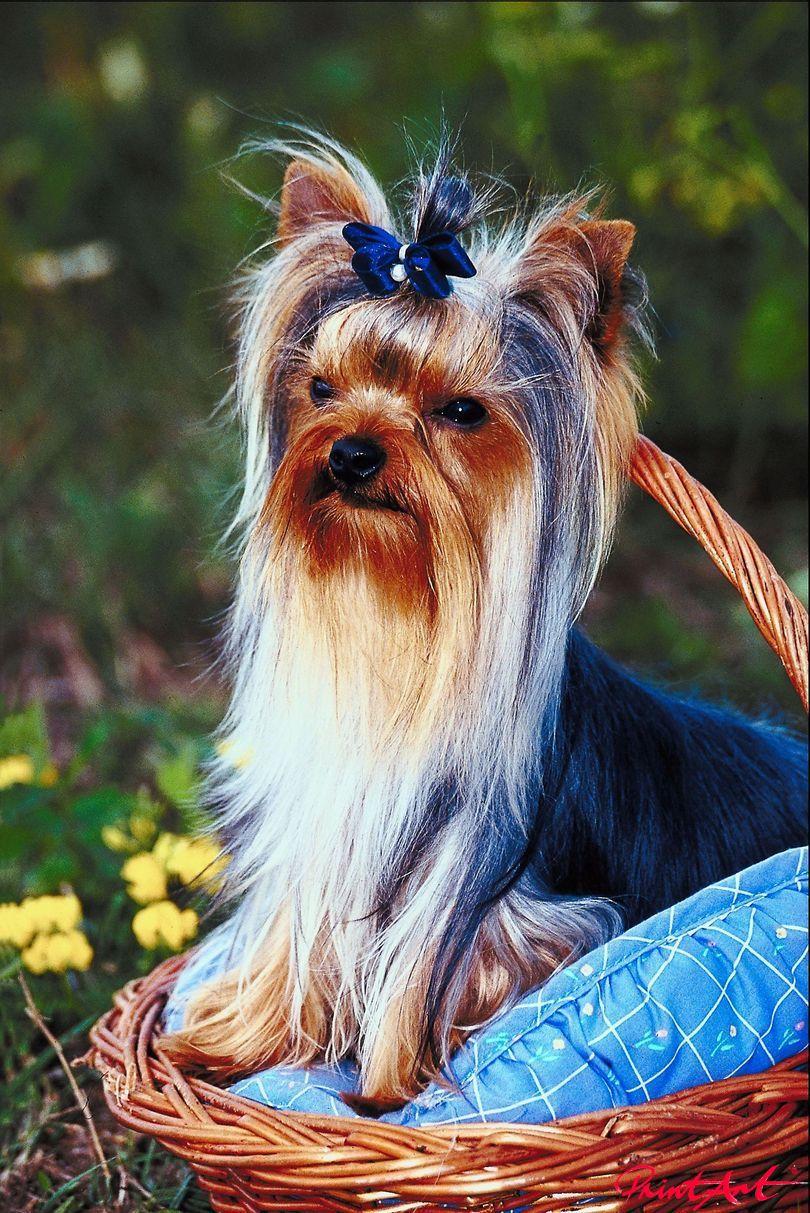 Yorkshire Terrier Hunde