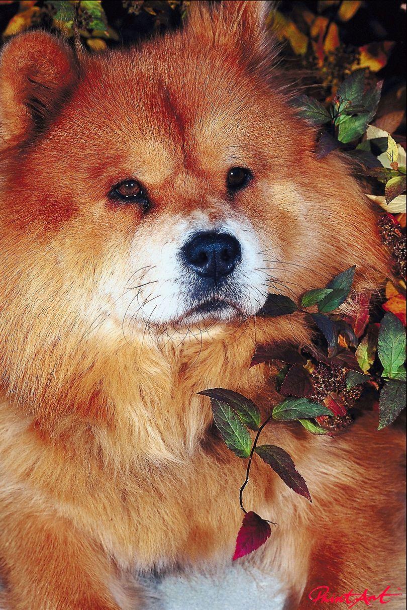 rostfarbener Hund Portrait Hunde