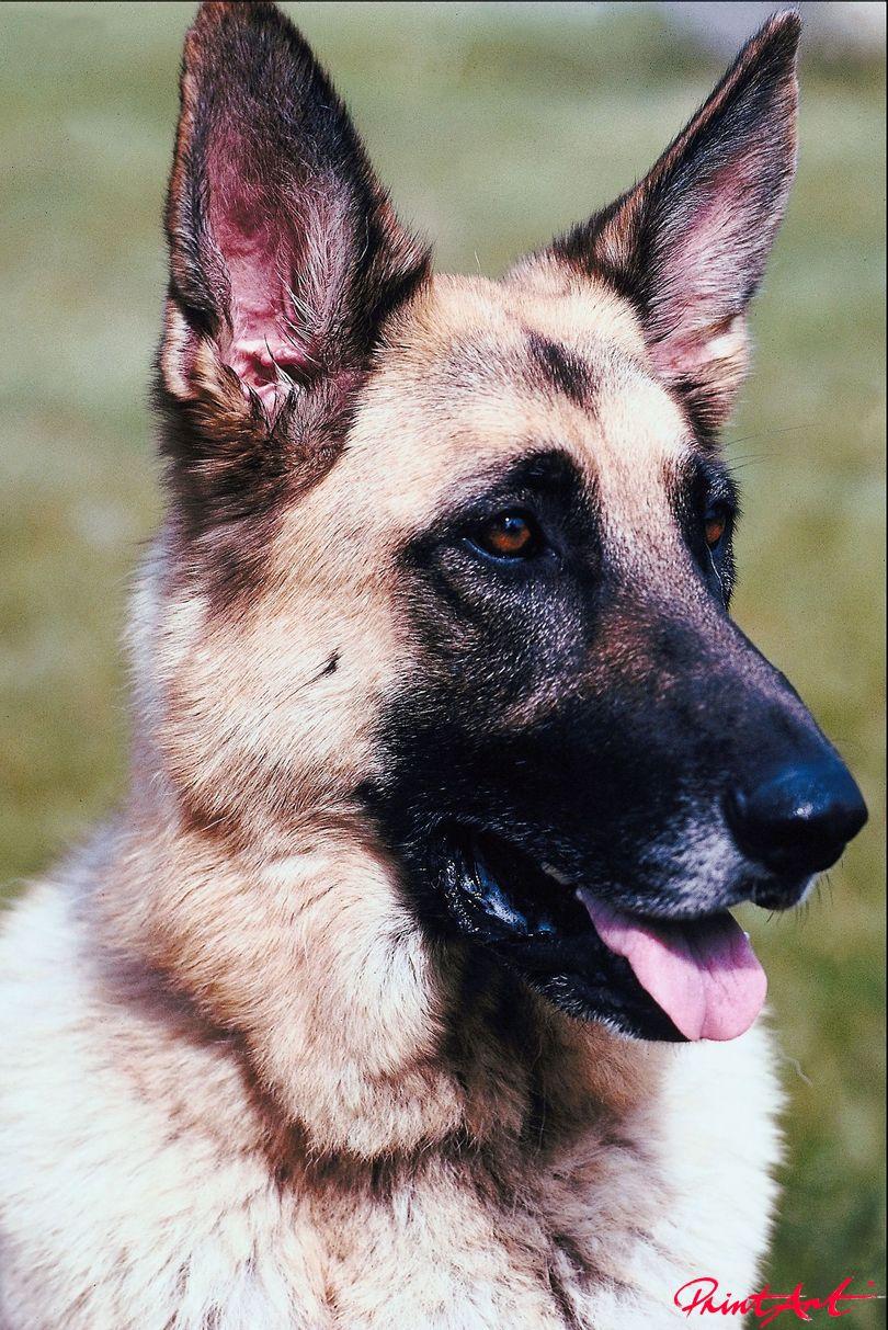 Schaeferhund Portrait Hunde