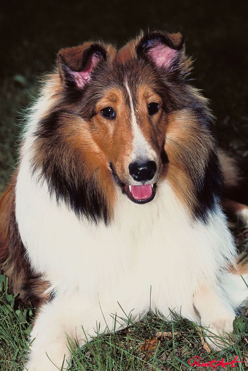 Liegender Collie Portrait Hunde