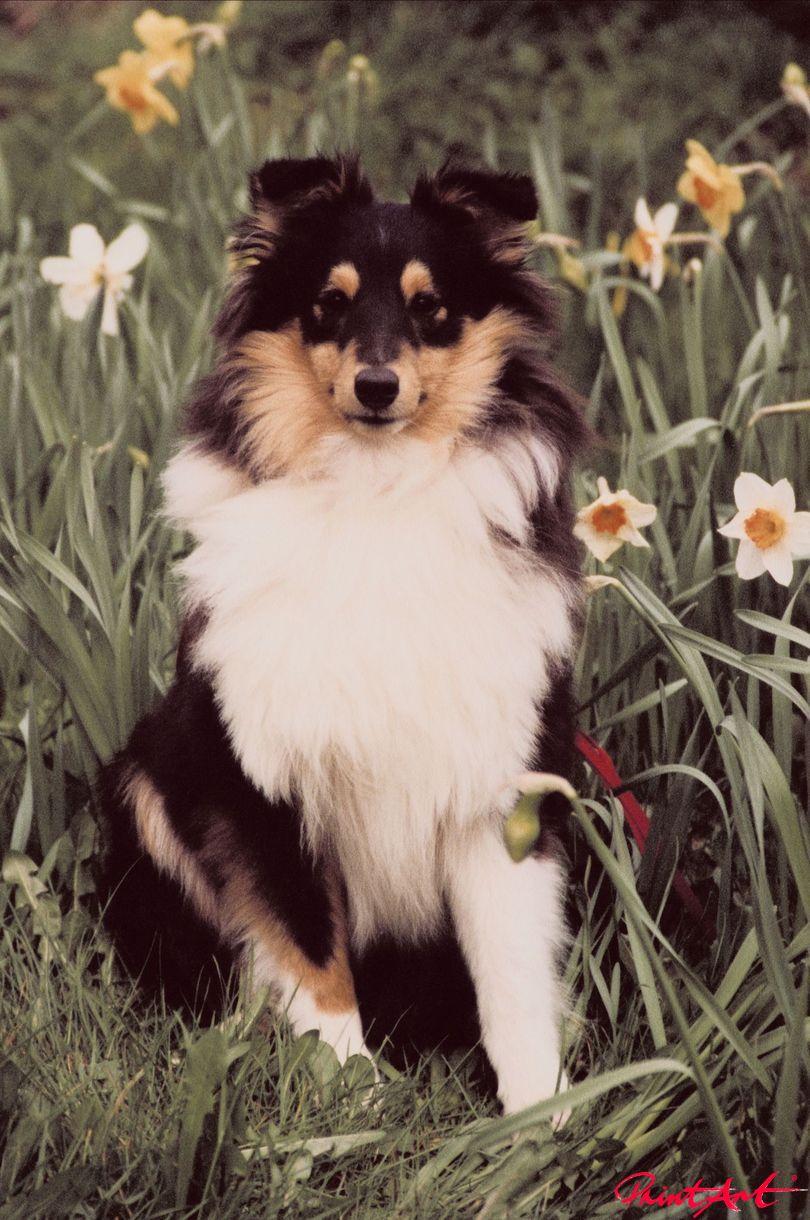 Hund in Narzissenfeld Hunde