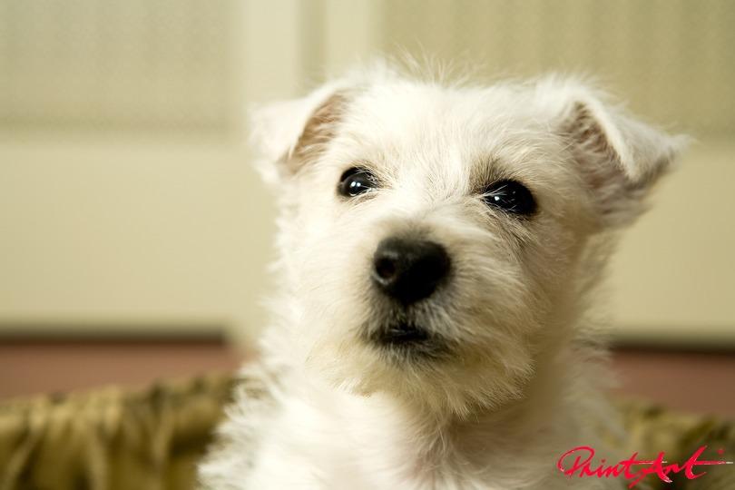 Portrait weisser Hund Hunde