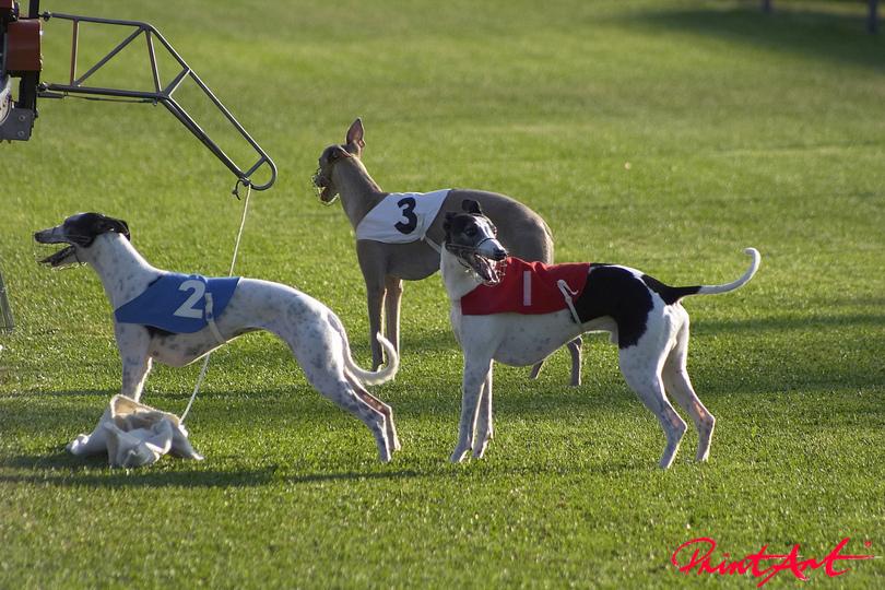Windhunde Hunde