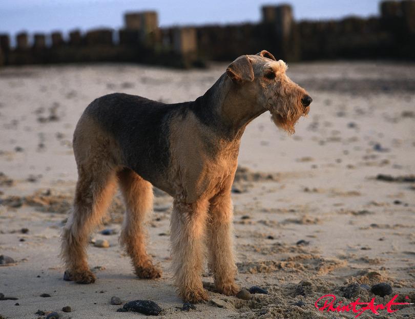 Riesenschnauzer am Strand Hunde