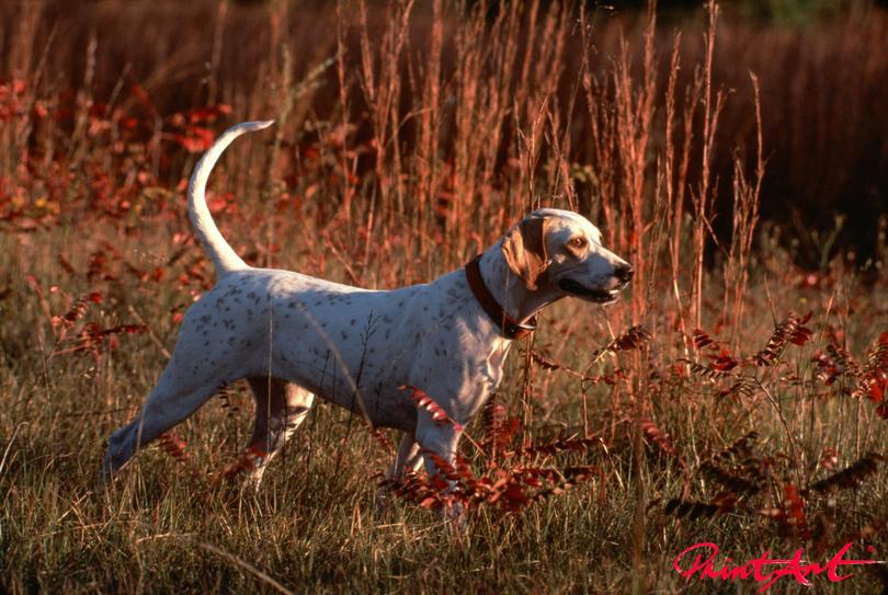 Hund im Feld Hunde