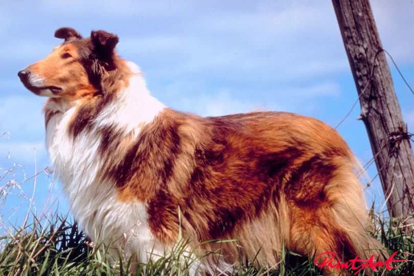 Collie Seite Hunde