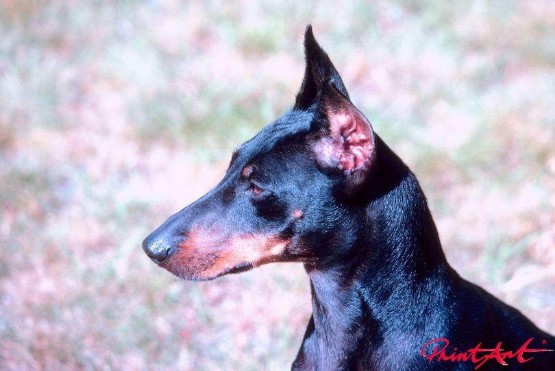 Dobermann Portrait Hunde