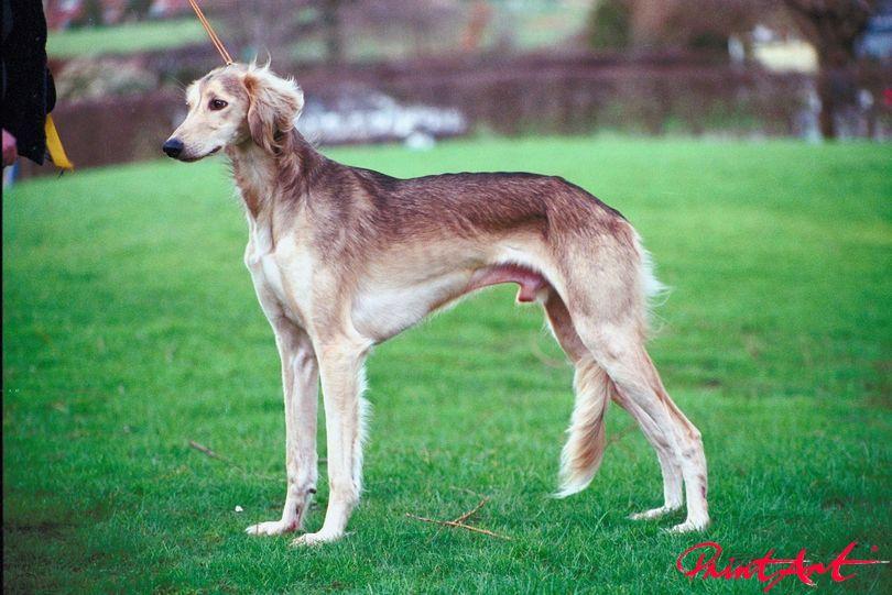 Windhund Seitenansicht Hunde
