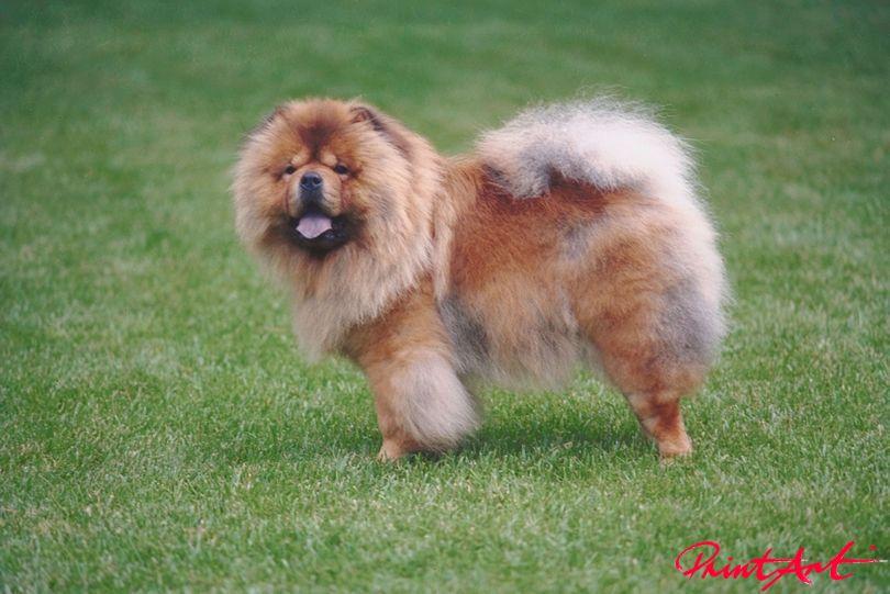 Chowchow Hunde