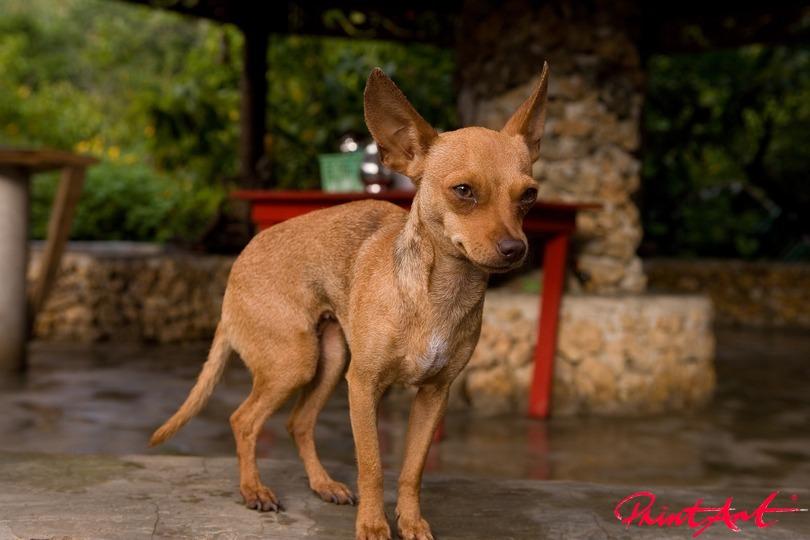 Pinscher in Patio Hunde