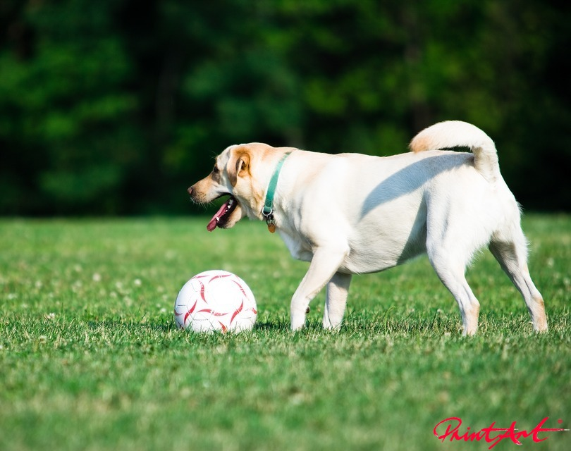 mit Fussball Hunde