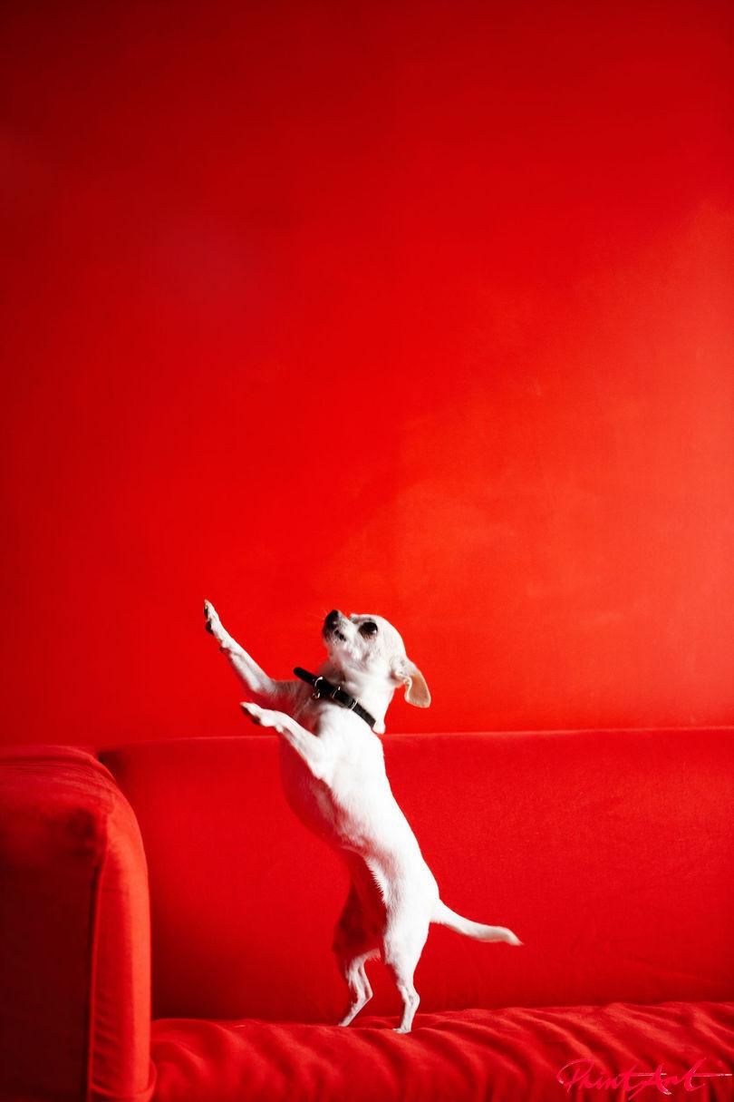 Pinscher tanzt auf Sofa Hunde