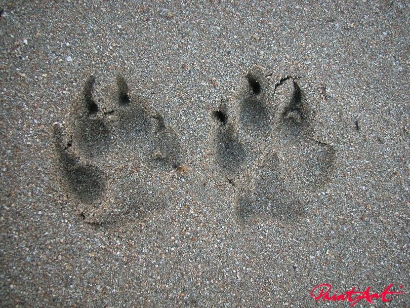 Pfotenabdruck im Sand Hunde