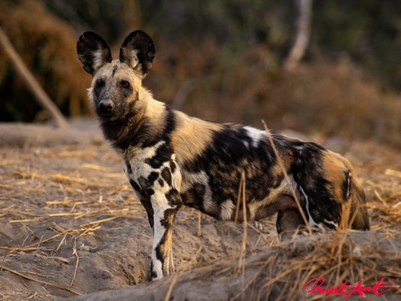 afrikanischer Wildhund Hunde