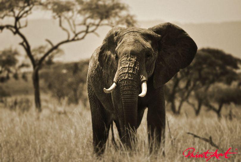 Elefantenbulle Wildtiere