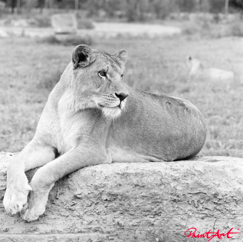 Löwin schwarz weiss Wildtiere
