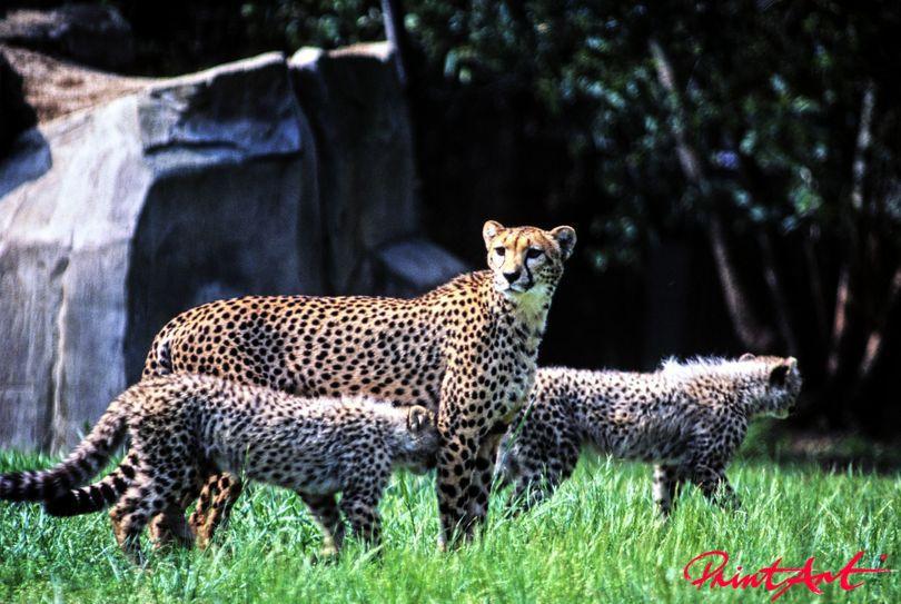 Gepardmutter mit Kindern Wildtiere