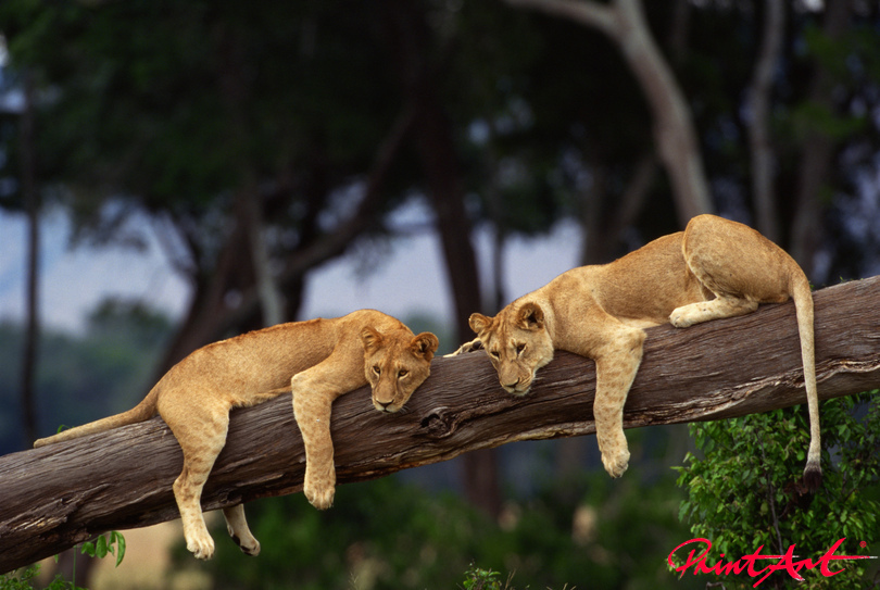 Löwenteenager auf Baumstamm Wildtiere