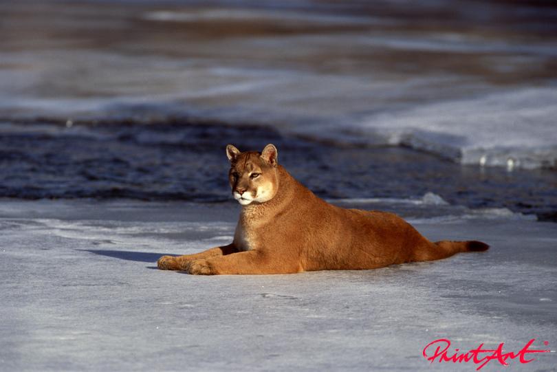 Puma auf Eisscholle Wildtiere