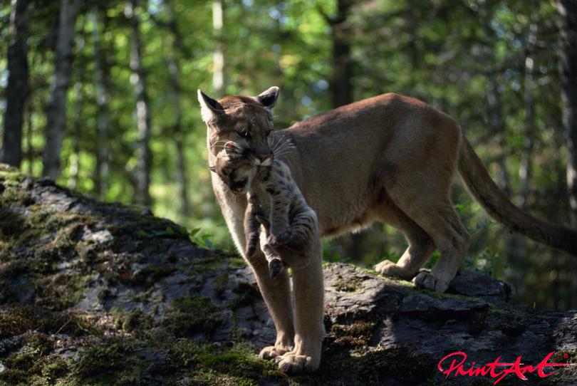 Pumamutter mit Baby Wildtiere