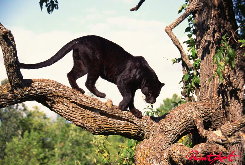 schwarzer Leopard Wildtiere