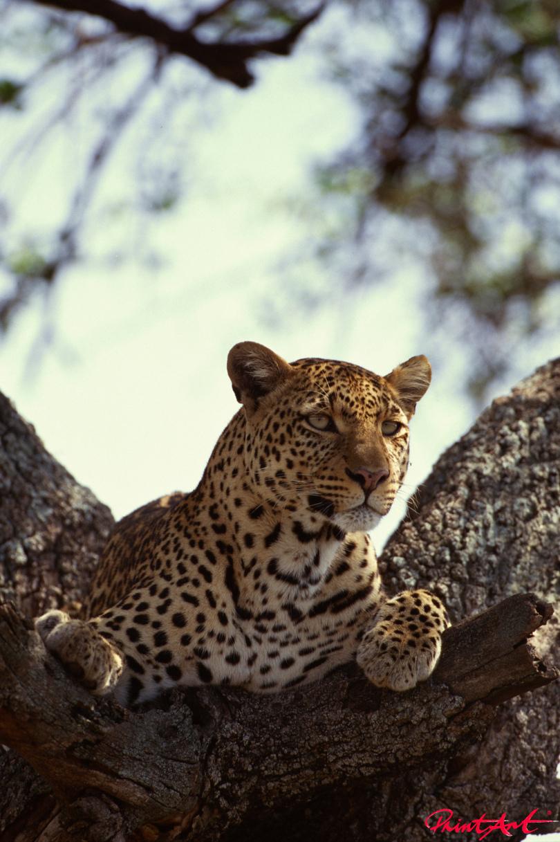 Leopard auf Baum Wildtiere
