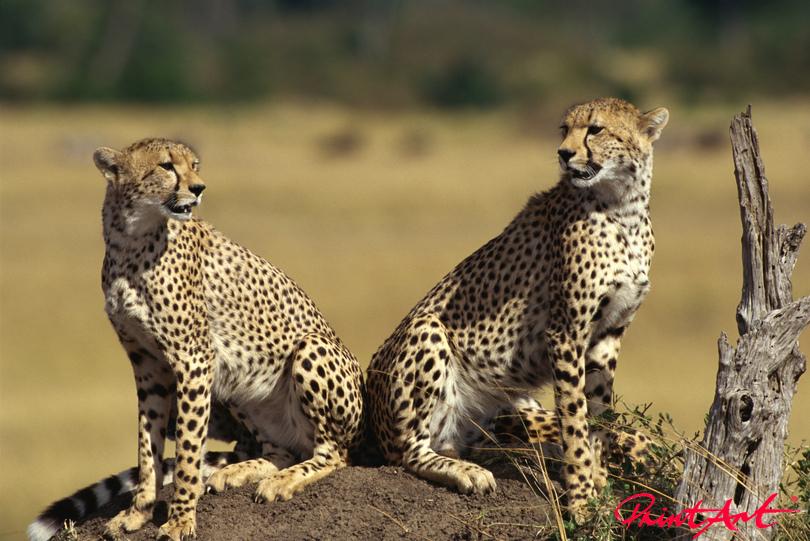 Gepardenduo Wildtiere